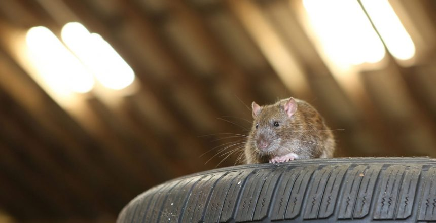Keep unwanted critters out of our space, like this mouse on a tire, with Rodent Block Garage door seal.