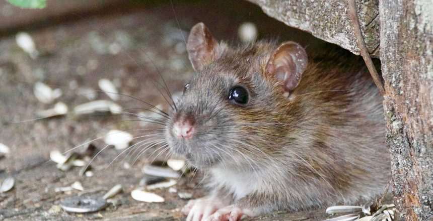 A rodent under a doorway. pests in your garage are only a problem if you let them be.